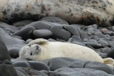 First seal pups of the year spotted on Farne Islands | Oceans and Wildlife | Scoop.it
