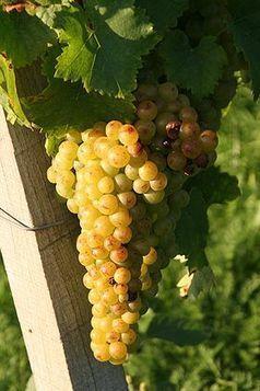 Muscat blanc à petits grains - Wikipédia | Muscat à petits grains | Scoop.it