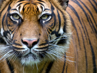 Protect tigers: Keep them out of American backyards | World Wildlife Fund | GarryRogers NatCon News | Scoop.it
