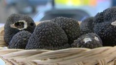 La truffe d'été du Périgord ne fait pas l'unanimité | Agriculture en Dordogne | Scoop.it