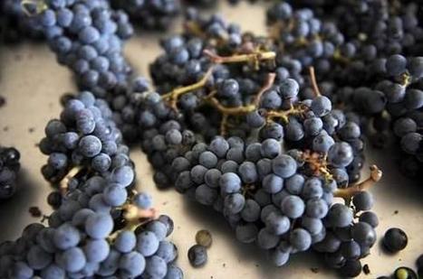 Les vignes seront-elles les prochaines victimes du changement climatique - Les Échos | Le vin quotidien | Scoop.it
