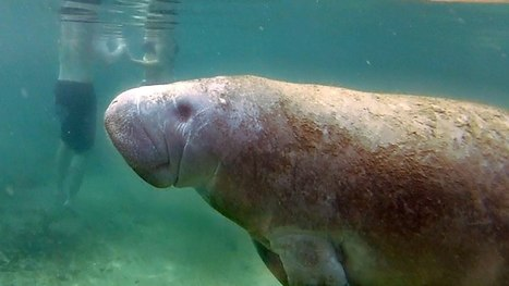 Meeting the Gentle Giant Manatees | Michel Braunstein Underwater Photography News | Scoop.it