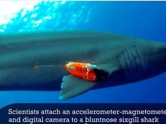 Sharks outfitted with wearable computers give scientists a better understanding of their movement | Cool New Tech | Scoop.it