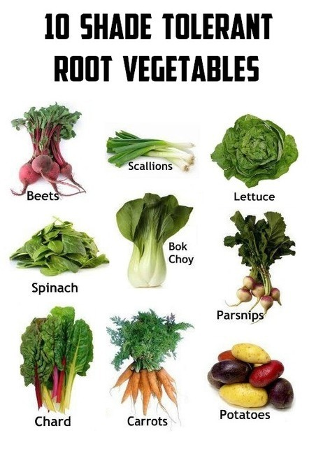 101 Gardening: 10 Shade tolerant root vegetables #vegetable_gardening | World In Green | Scoop.it