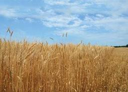 WASDE: Wheat Production Record of 708.9 Million Tons Projected | Food Insecurity | Scoop.it