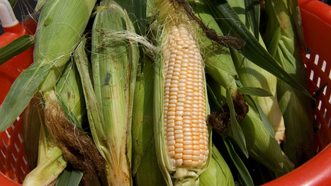 Study reveals GMO corn to be highly toxic — RT USA | GMOs | Scoop.it