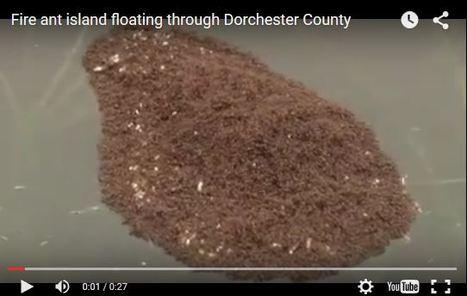 États-Unis : comment les fourmis ont échappé aux inondations | EntomoNews | Scoop.it