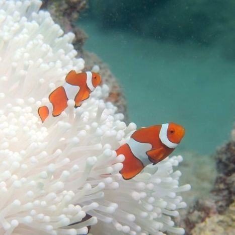 'Devastating' Great Barrier Reef bleaching worse than first thought #climate #extinction   Messenger for mother Earth   Scoop.it