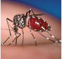 Le chikungunya débarque en Martinique - Toute l'actualité de la Guyane sur Internet - FranceGuyane.fr | La Région Guyane | Scoop.it