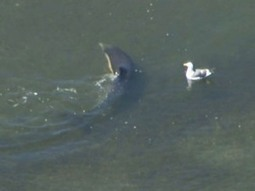 Rescuers Continue Effort At Bolsa Chica Channel To Return Wayward Dolphin ToSea - CBS Los Angeles | Social Media Goodies | Scoop.it