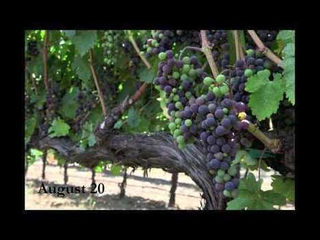 Video time lapse photography: veraison, grapes changing color | The Jordan Journey | Wine business | Scoop.it