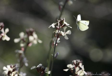 Pescalune Photo : Piéride du chou (Pieris brassicae) | Les colocs du jardin | Scoop.it