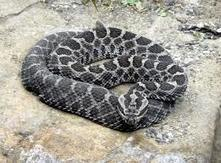 Protect Rattlesnakes from Senseless Killings | GarryRogers Biosphere News | Scoop.it