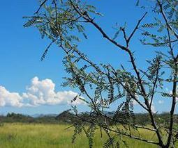 Gasification may convert mesquite and juniper wood to a usable bioenergy | Sustain Our Earth | Scoop.it