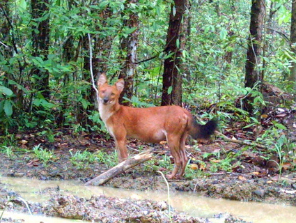 Elusive Wild Dog Species, the Dhole, Spotted in Thailand by… | Ecology Pad | Thailand Business News | Scoop.it