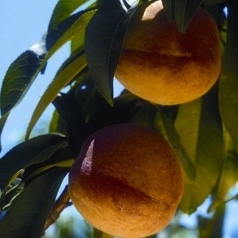Growing Fruit Trees From Seeds | Seeds and Their Growing Importance | Scoop.it