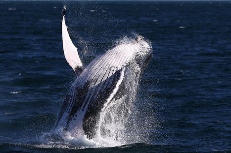 Whales Can Really Rock With Their Mellow Songs | Sciences & Santé | Scoop.it