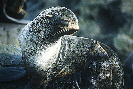 Why Are Antarctic Fur Seals Shrinking? | climate change | Scoop.it