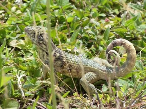 Photo de lézard : Léiocéphale caréné - Leiocephalus carinatus - Northern curly-tailed lizard - Lézards | Fauna Free Pics - Public Domain - Photos gratuites d'animaux | Scoop.it