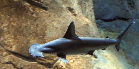 Biarritz : un requin aurait été aperçu à la Côte des Basques - Sud Ouest | Requins en Péril | Scoop.it