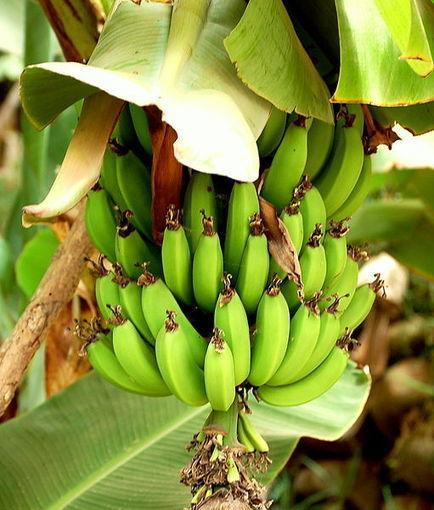Le chlordécone, ex-insecticide des bananeraies, serait bien cancérigène | Autres Vérités | Scoop.it