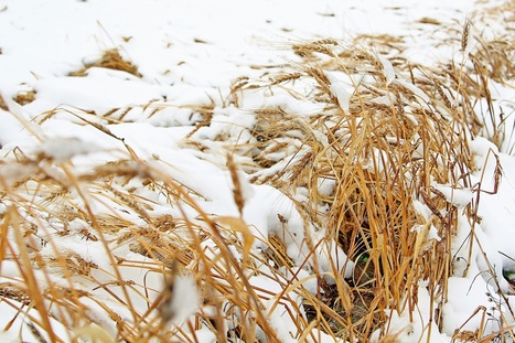 Record snowfall freezes northeastern B.C. grain harvest | Global Milling | Grain Storage Trends and Innovations Worldwide | Scoop.it