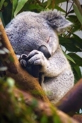 Cute Animals: Koalas   All about nature   Scoop.it