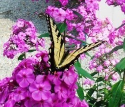 Growing a Butterfly Garden - Gardening Jones | Gardening | Scoop.it