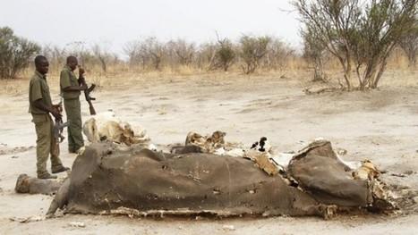 Poachers kill 300 elephants with cyanide — Nehanda Radio   Elephants   Scoop.it
