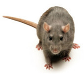 Rat Eradication Sweeps Slated for Loch Raven, Hillendale This Month - Patch.com | Loch Raven Reservoir | Scoop.it