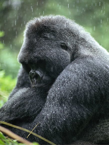 Mountain Gorilla Facts and Pictures -- National Geographic Kids | Mountains | Scoop.it