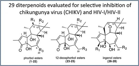 Antiviral Activity of Diterpene Esters on Chikungunya Virus and HIV Replication | Vitae Herbae | Scoop.it