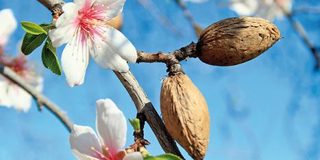 La filière amande relancée en Provence | Arboriculture: quoi de neuf? | Scoop.it