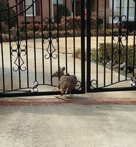 "Deer stuck in gate in Roswell | Buffy Hamilton's Unquiet Commonplace ""Book"" 