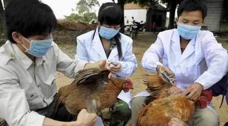 La grippe aviaire H5N8 s'étend en Europe   Chronique d'un pays où il ne se passe rien... ou presque !   Scoop.it