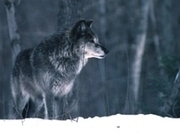 American Indian Tribes To Challenge Michigan Wolf Hunt | IDLE NO MORE WISCONSIN | Scoop.it