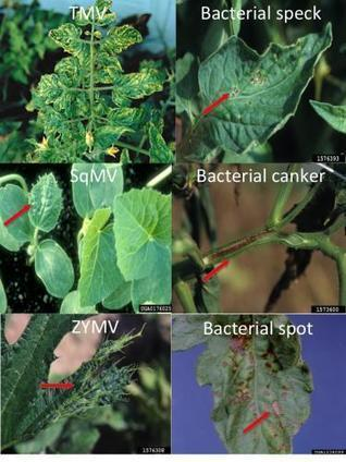 Sanitation is critical to prevent plant diseases Part 2: Field sanitation - Michigan State University Extension | Emerging Plant Viruses | Scoop.it