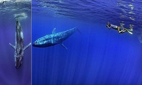 Photographer captures breathtaking images as he swims with blue whale | Simon Thomas Scoop | Scoop.it