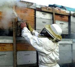 Distribution de 480 ruches pleines - La Dépêche de Kabylie | Abeilles, intoxications et informations | Scoop.it