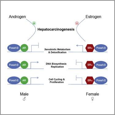 Il cancro al fegato nel sesso maschile   Med News   Scoop.it