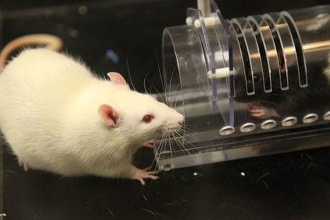 Rats feel empathy for other rats – unless they're on anti-anxiety meds | Knowmads, Infocology of the future | Scoop.it