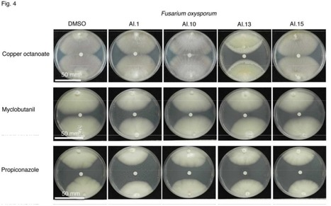 Apyrase inhibitors enhance the ability of diverse fungicides to inhibit the growth of different plant pathogenic fungi -- Molecular Plant Pathology | Extracellular ATP and ectoapyrase in plants | Scoop.it