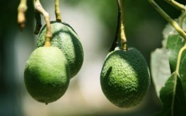"Avocado: The Prolific Green Fruit, Vegetable, and Nut Combined (""good even for diabets"") 