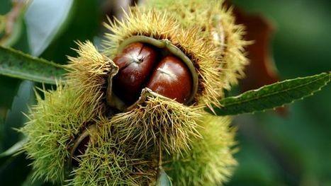 La guêpe à galles mine la récolte des châtaignes au Tessin | EntomoNews | Scoop.it