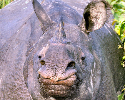 Director of National Cancer Institute Says 'No Rationale' for Rhino Horn Consumption | What's Happening to Africa's Rhino? | Scoop.it