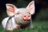 With 'gene-editing' scientists have produced a disease resistant piglet | Archive | Scoop.it