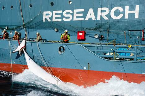 Japanese whaling ships return from Antarctic | Humanities Foundation | Scoop.it