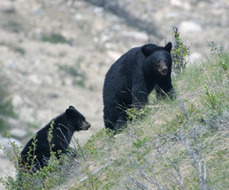 New Jersey Ignores Research, Expands Trophy Hunting of Bears   Trophy Hunting: It's Impact on Wildlife and People   Scoop.it