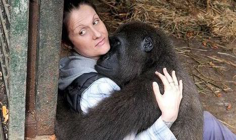 I taught him to laugh! Brit saves gorilla after poacher attack | Wildlife Trafficking: Who Does it? Allows it? | Scoop.it