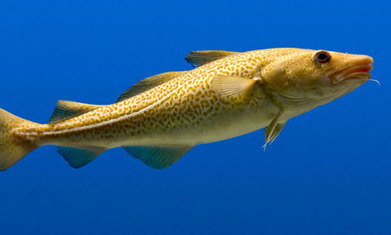 Cod stocks recover after years of overfishing | Skylarkers | Scoop.it